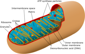 300px-Animal_mitochondrion_diagram
